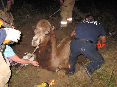 Camel gets stuck in sinkhole.