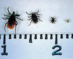 4 tick stages picture