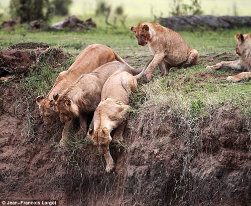 Lioness saves her cub 2