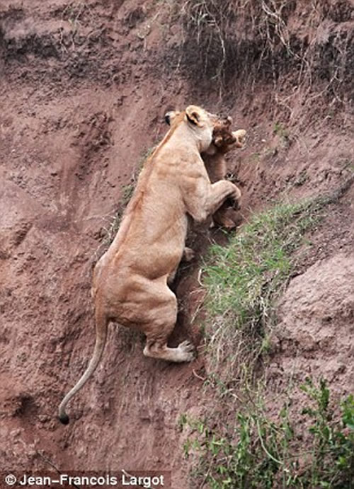 Lioness rescues her cub 4