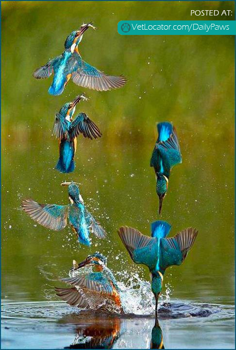 Daily Paws Picture of the Day: Kingfisher Practicing for the Olympic Synchronize Fishing Event ...
