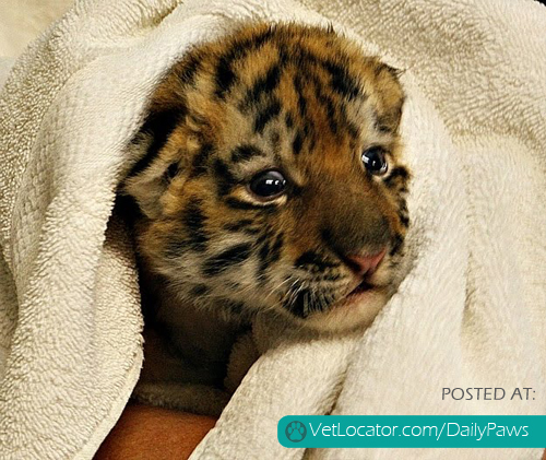 Cute Baby Tiger Gets A Bath
