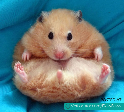 My hamster has bumble foot? - Ailments & Injuries - Hamster