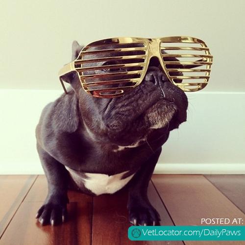 Dapper French Bull Dog...