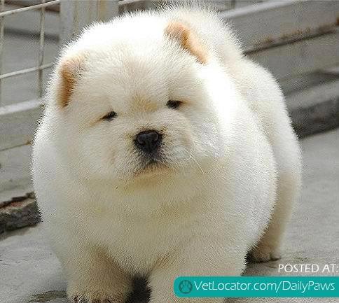 Amazing Fluff Ball Adorable Dog - Fluff-ball  Gallery_623848  .jpg