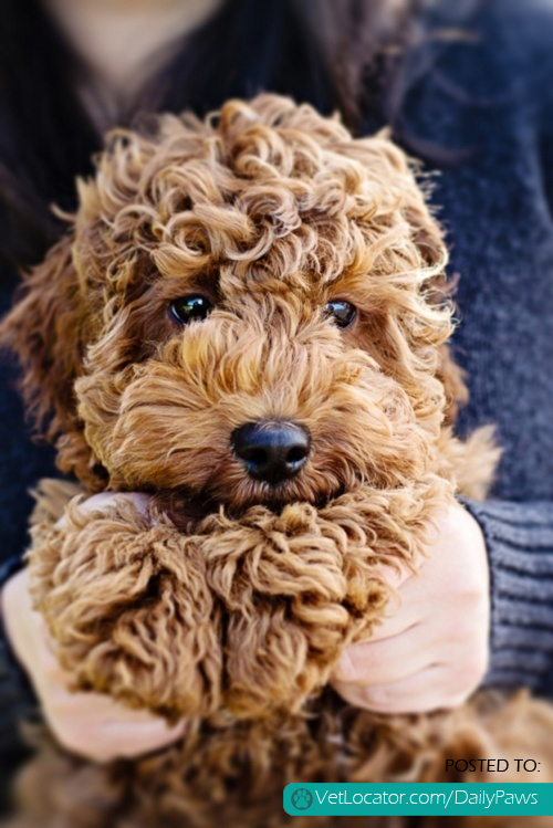 Daily Paws Picture Of The Day Cuddly Labradoodle Daily