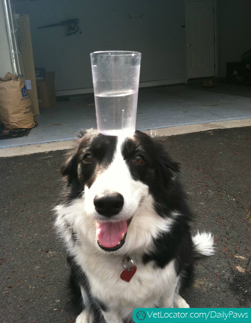 border-collie-balancing-things-on-her-head-03
