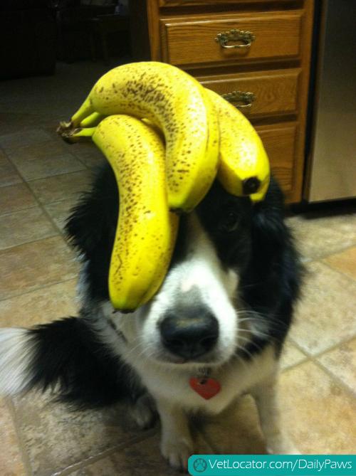 border-collie-balancing-things-on-her-head-04