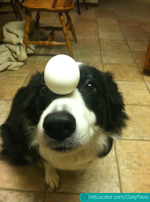border-collie-balancing-things-on-her-head-05