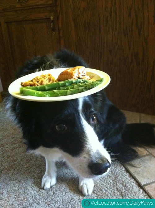 border-collie-balancing-things-on-her-head-06