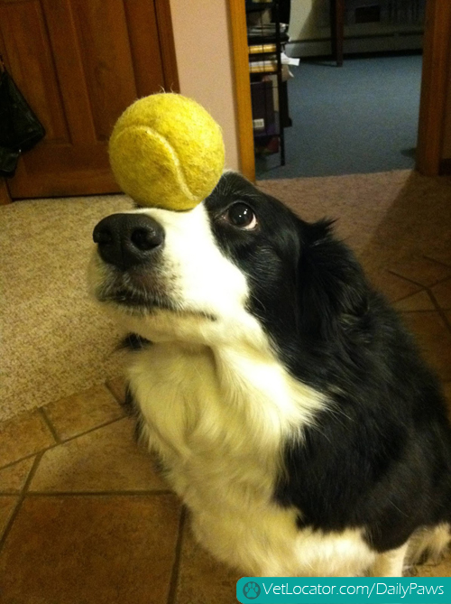 border-collie-balancing-things-on-her-head-07