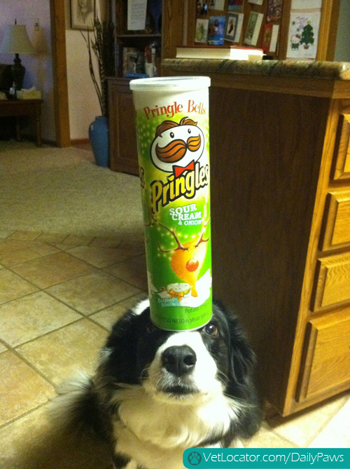 border-collie-balancing-things-on-her-head-10