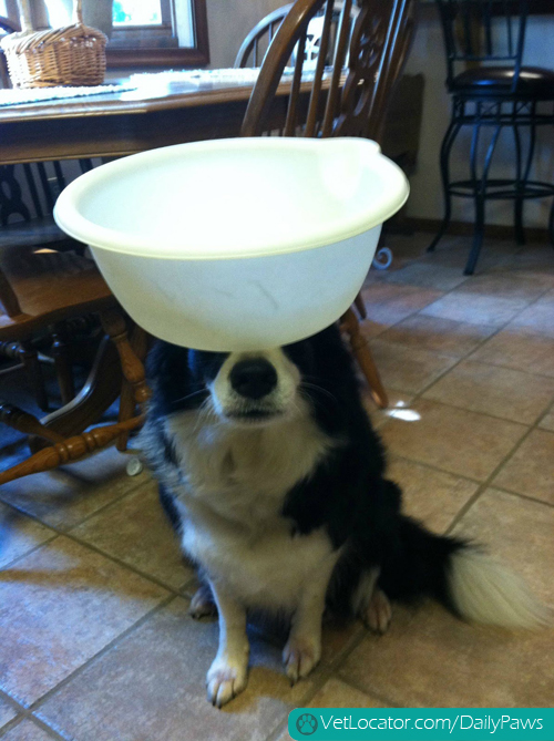 border-collie-balancing-things-on-her-head-11