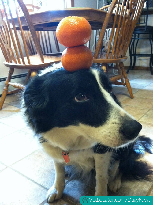 border-collie-balancing-things-on-her-head-12