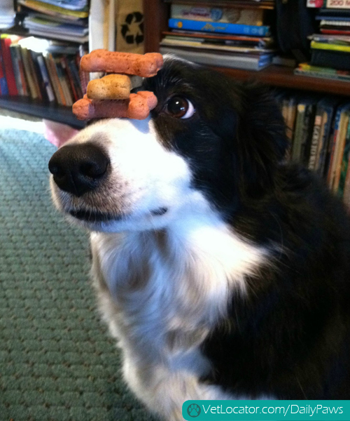 border-collie-balancing-things-on-her-head-13