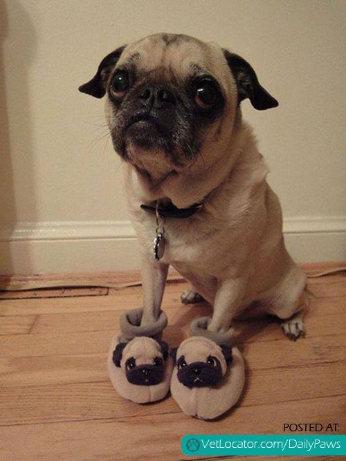 pugs-on-pugs