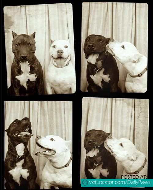 Pibble love in a photo booth