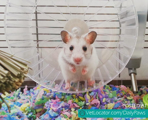 White mice on wheel