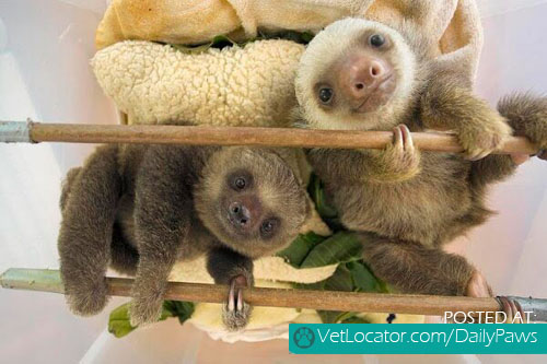 adorable-Two-toed-sloth