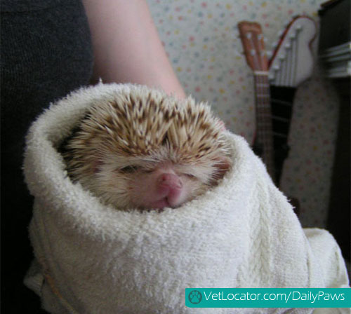 adorable-animals-wrapped-like-burritos-02