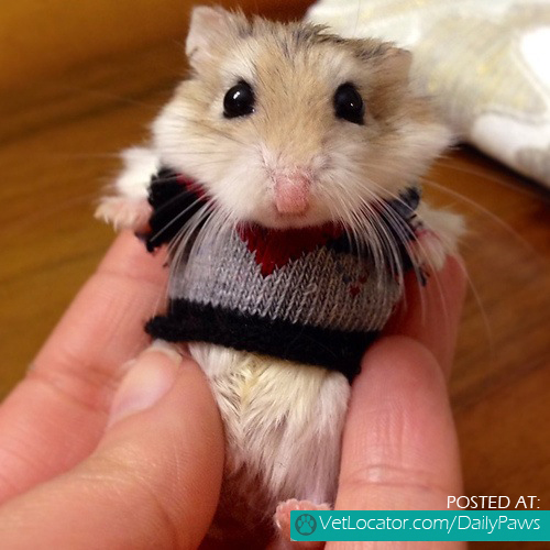 hamster-in-a-sweater