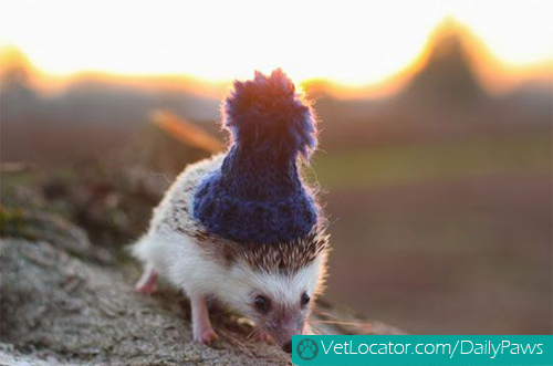hedgehog-with-hat-01