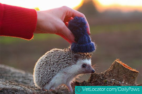 hedgehog-with-hat-03