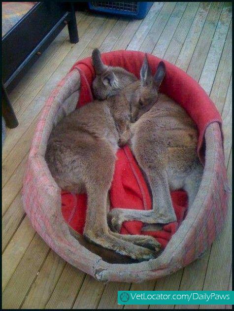 Cuddling baby kangaroos