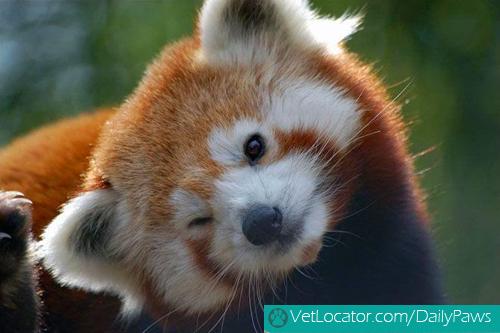 Cute-Red-Panda-01