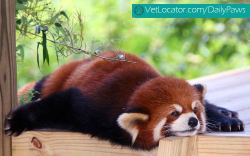 Cute-Red-Panda-02