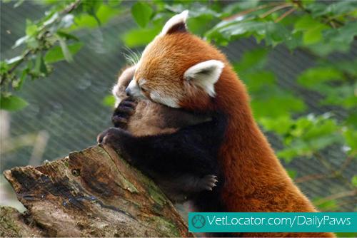 Cute-Red-Panda-03