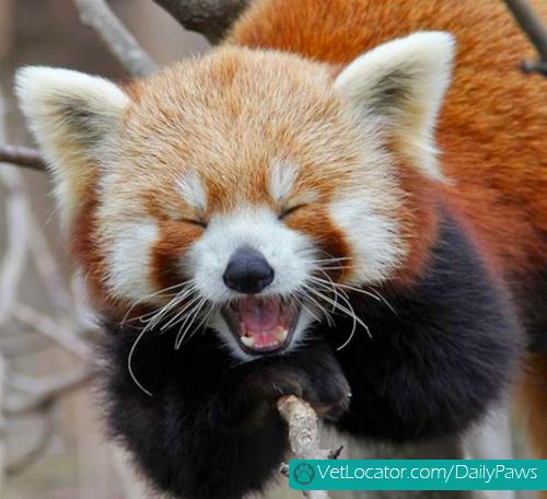 Cute-Red-Panda-04