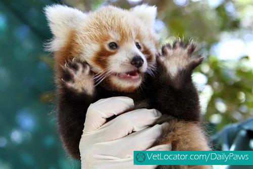 Cute-Red-Panda-06