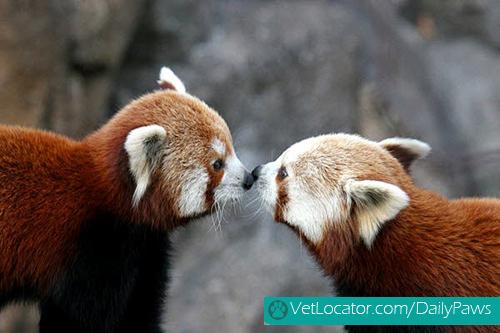 Cute-Red-Panda-07