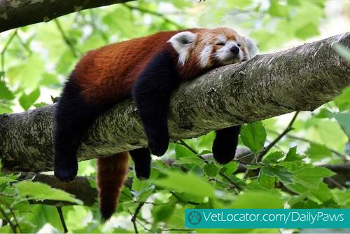 Cute-Red-Panda-08