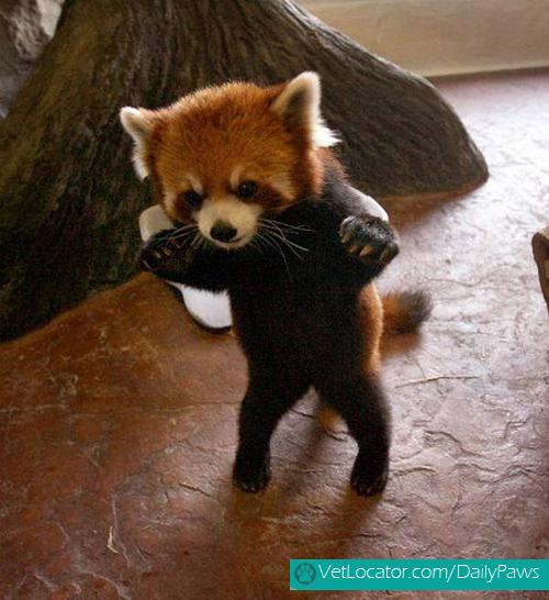 Cute-Red-Panda-10