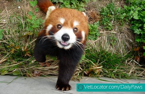 Cute-Red-Panda-11