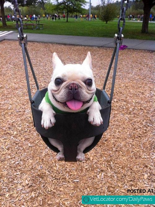 Happy Pug in swing