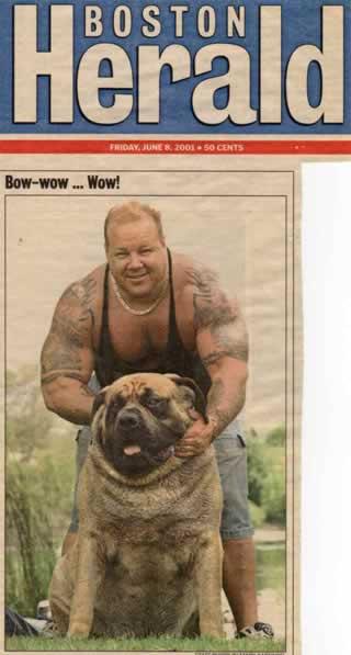 Hercules Mastiff World's Biggest Dog