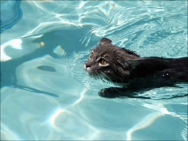 Cat In Swimming Pool : Cats swim swimming cute and funny pet pictures