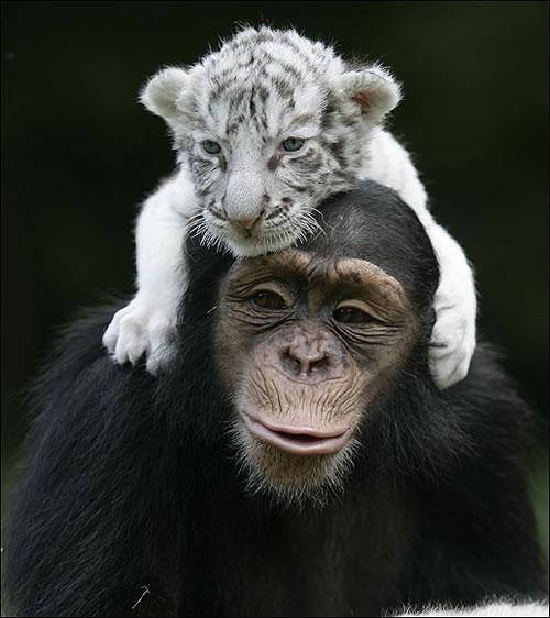 Baby White Tiger 4